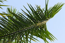Green palm frond branch or leaves