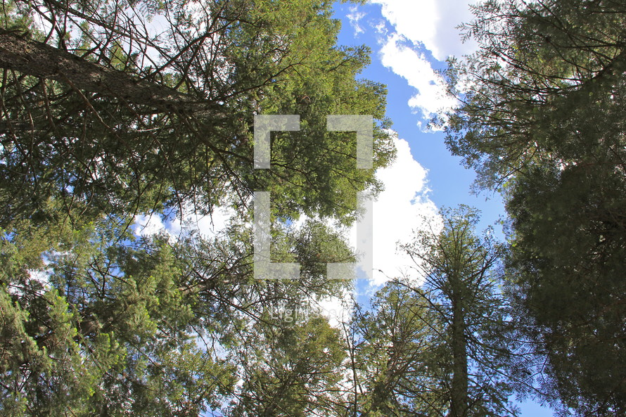looking up to the tops of trees