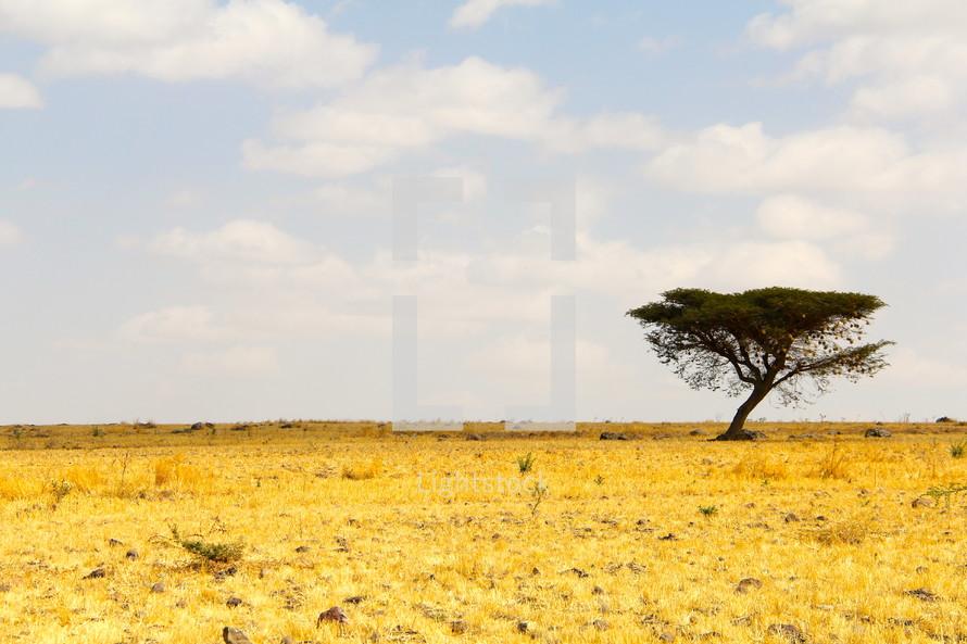 Isolated thorn tree on the African savanna