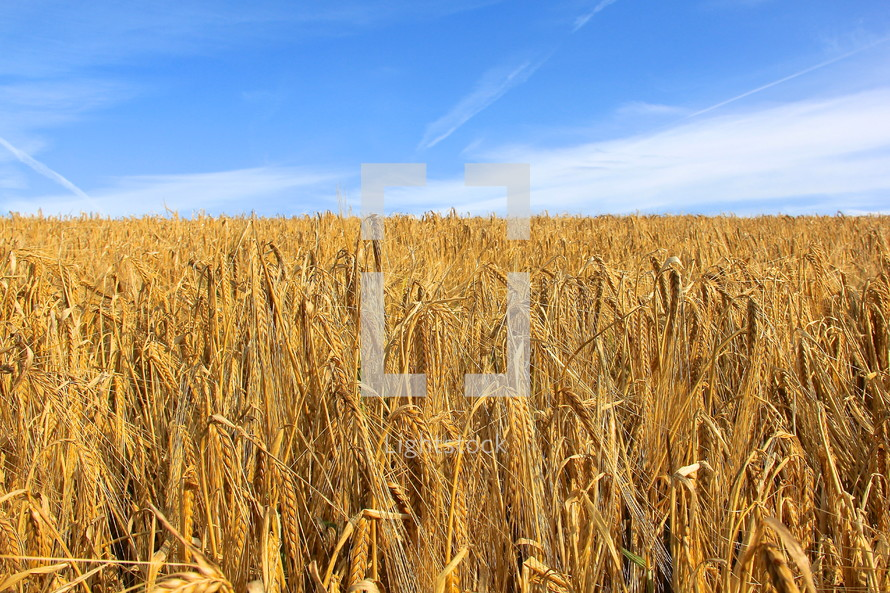 Field of ripe wheat against bright blue sky