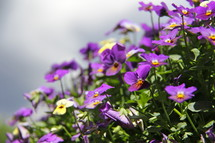 Cascade of purple pansy flowers