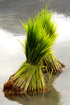 Rice seedlings ready for planting