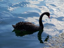 Black Swan strolling through calm waters.