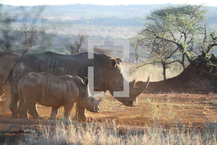 An adult and baby rhinoceros standing together in the African wilderness.