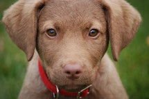 eyes of a Puppy face dog wearing a red collar in the grass