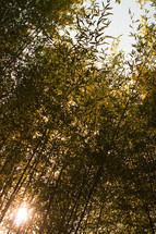 bamboo stalks against the backdrop of the sun