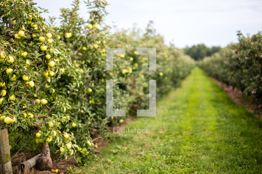Grassy path through a fruit orchard.
