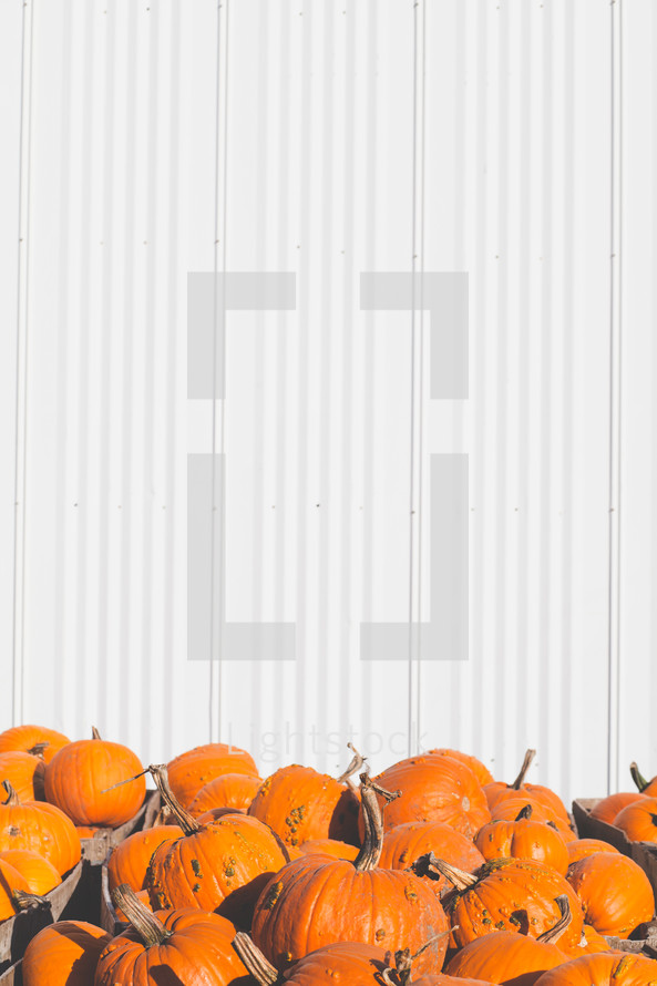 orange pumpkins in front of a white wall