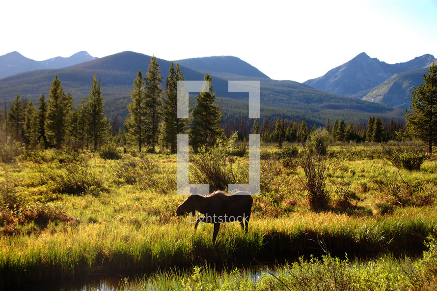 moose by a river