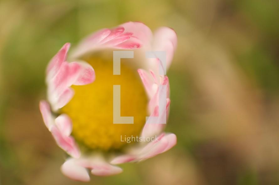 pink tulip overhead