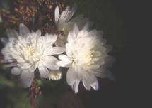 white carnations.