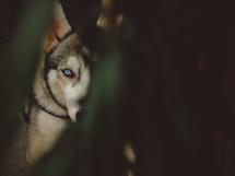 peeking husky