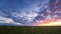cows grazing under purple clouds in the sky at sunset