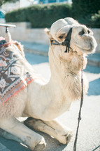 resting camel in the Holy Land