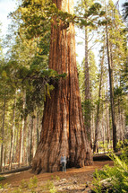 woman standing near a giant redwood tree