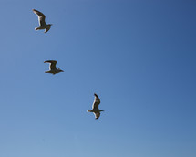 segulls in flight