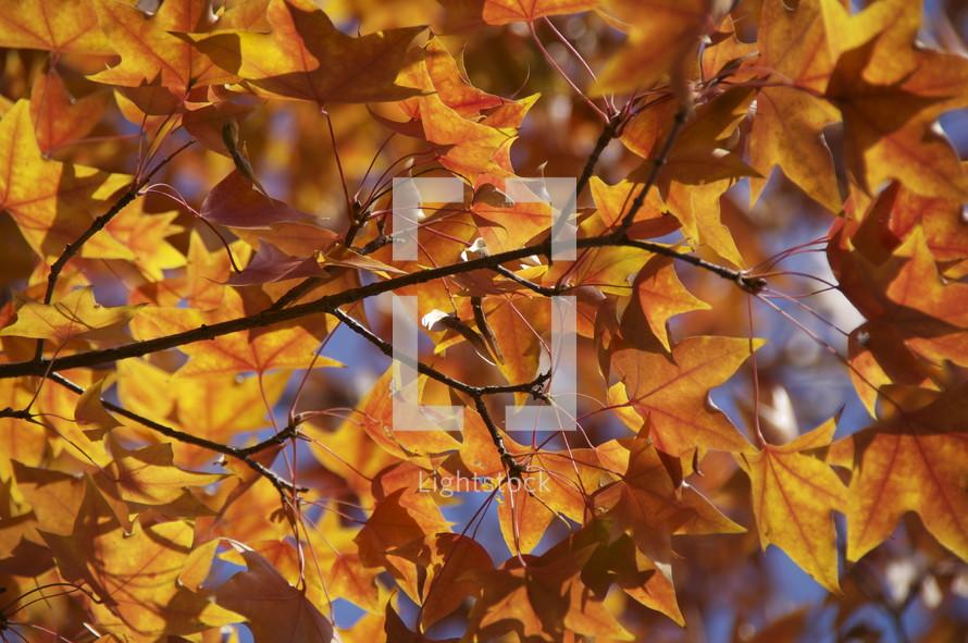 Fall leaves. Tree, orange, autumn, season.