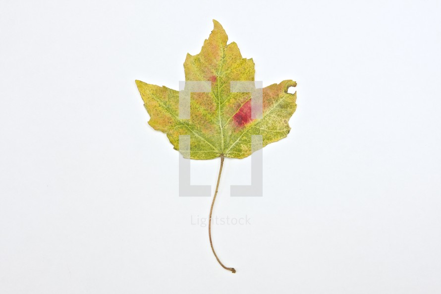 mixed colors on a fall maple leaf