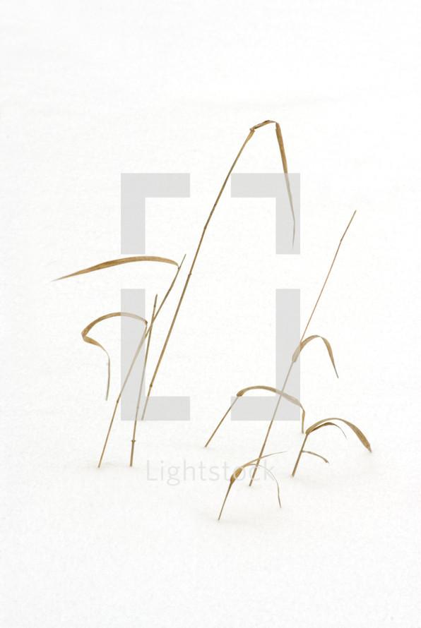 blades of tall grass poking through the snow