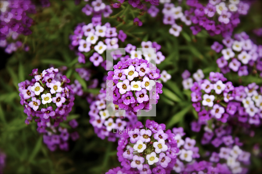 Flowers with white and purple petals
