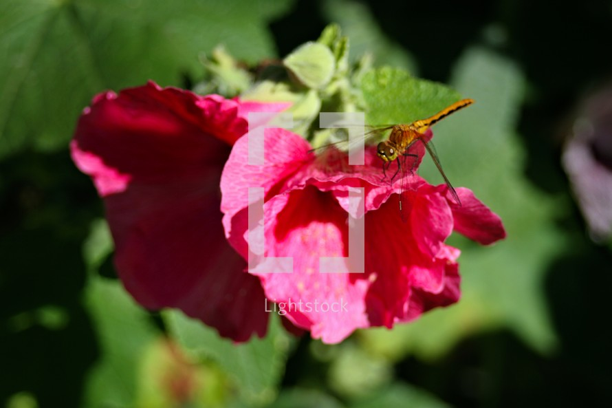Dragonfly on red hollyhock flower