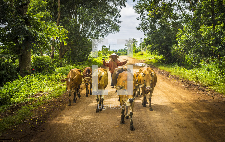 man herding cattle down a dirt road