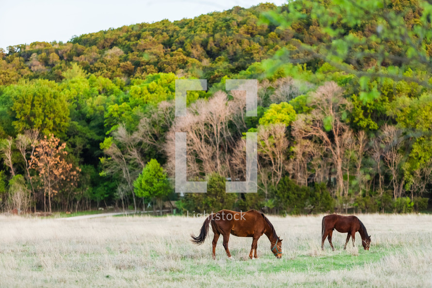 Horses in field in the summer in texas backed by trees forest