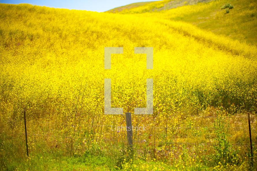 Open field of yellow wildflowers
