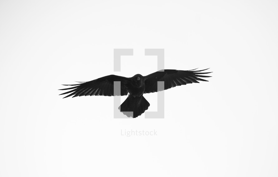 A black hawk isolated on white