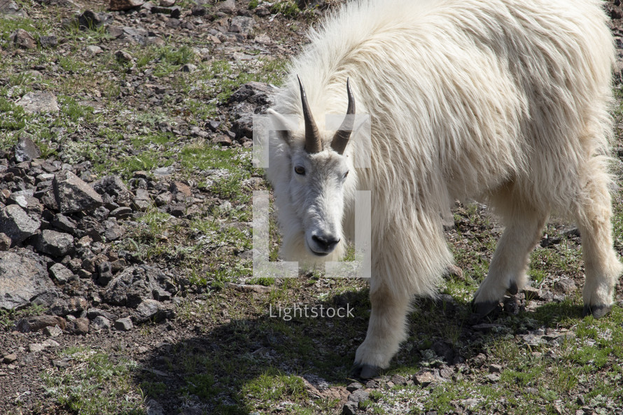 goat on a mountainside