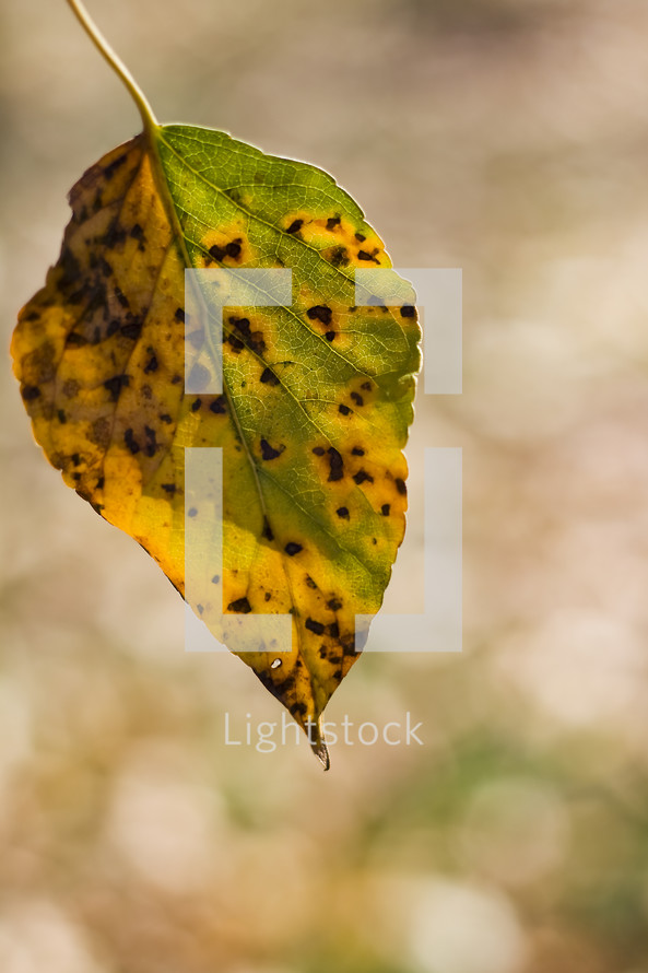 brown spots on a yellow and green fall leaf