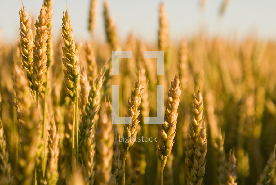 Close up of wheat in a field at harvest time