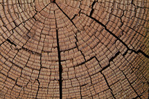 Closeup of tree stump showing growth rings