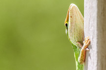 Green anole climbing a post with negative copy space.