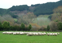Sheep graze in a green pasture