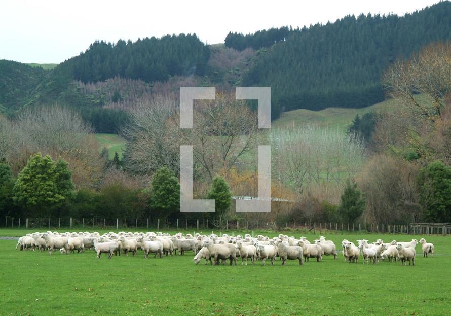 Sheep graze in a green pasture
