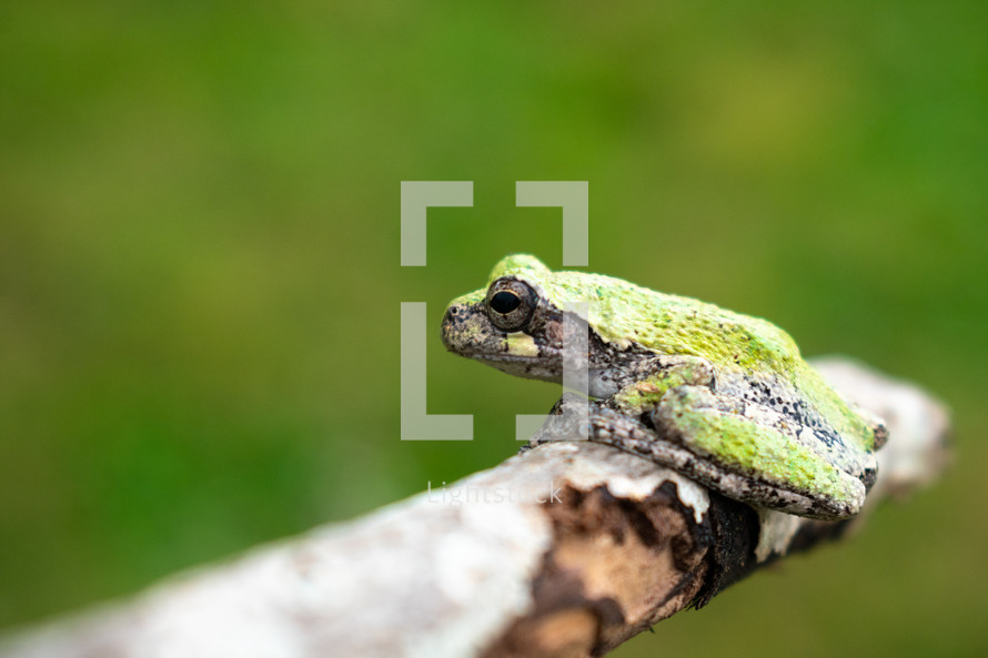 tree frog on a branch