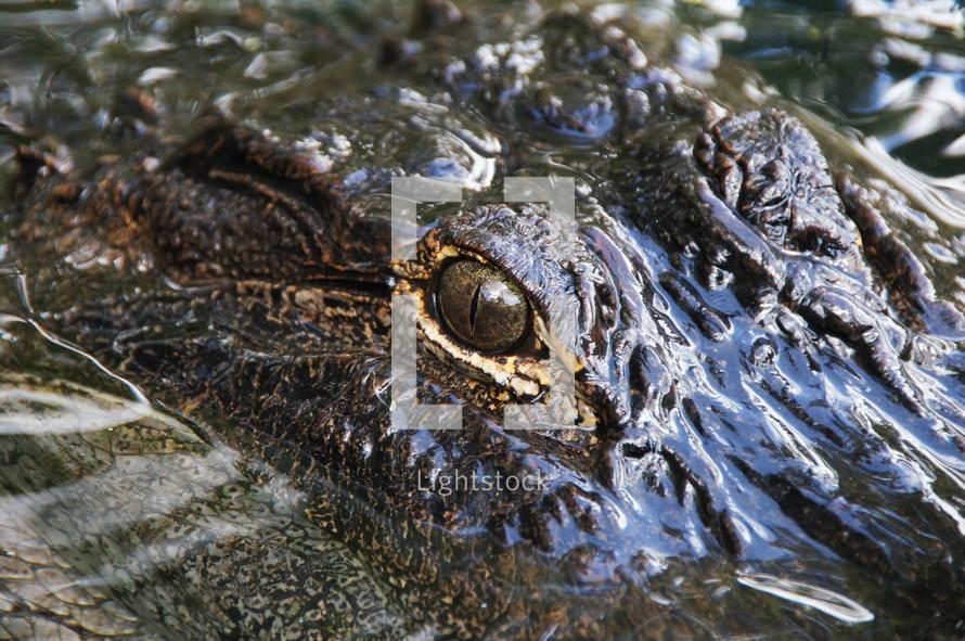 A close up view of an alligator