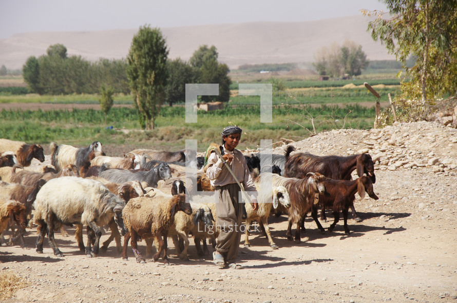 Kurdish shepherd leading a flock of sheep and goats on a dirt road in Kurdistan, Iraq.