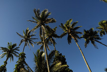 Palm trees with blue sky above them.