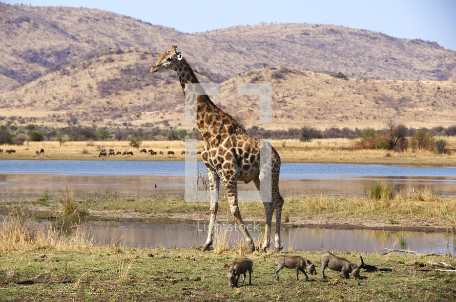 Giraffe and warthogs in open ground in Africa