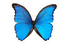 A blue butterfly with wings outstretched.