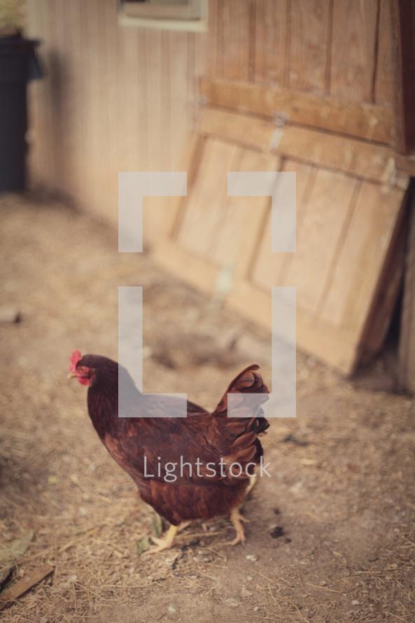 Chicken in barn