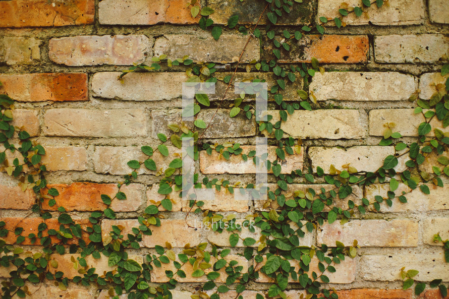 Vines growing on a brick wall.
