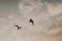 soaring seagulls