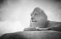 A lion lying on top of a rock
