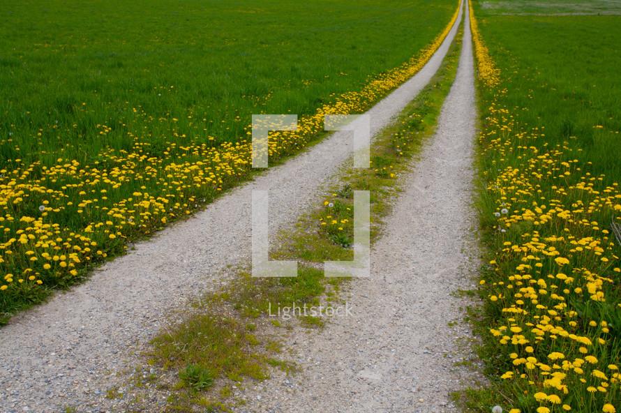 Dandelion lined gravel road