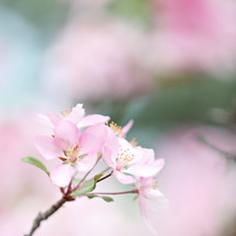 single pale pink blossom on a tree with blurred background