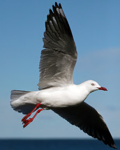 closeup of a seagull in flight