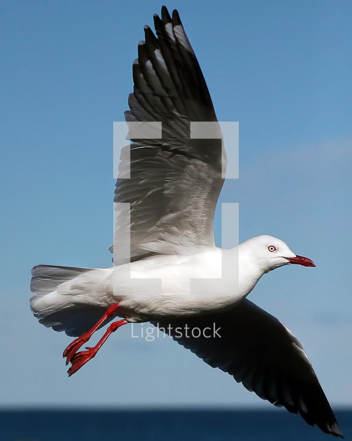 closeup of a seagull in flight